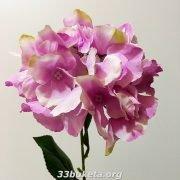 Гортензия одиночный цветок